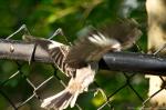 HSNP Promenade Mockingbird Chick Landing