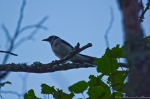 HSNP Promenade Blue Jay