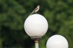 HSNP Promenade Mockingbird on Light Globe