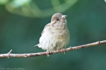 HSNP Promenade Young House Sparrow