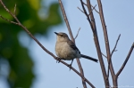 HSNP Promenade Young Mockingbird