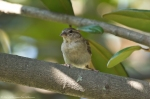 HSNP Arlington Lawn Female House Sparrow