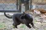 HSNP Promenade Black Feral Cat (Small Panther)