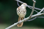 HSNP Promende Brown Thrasher
