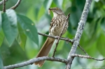 HSNP Promende Brown Thrasher with Breakfast