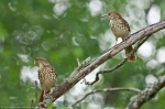 HSNP Promende Brown Thrasher Duo