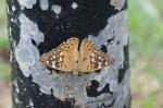 HSNP Promende Hackberry Emperor Butterfly