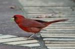 HSNP Promende Male Cardinal