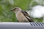 HSNP Promende Northern Mockingbird