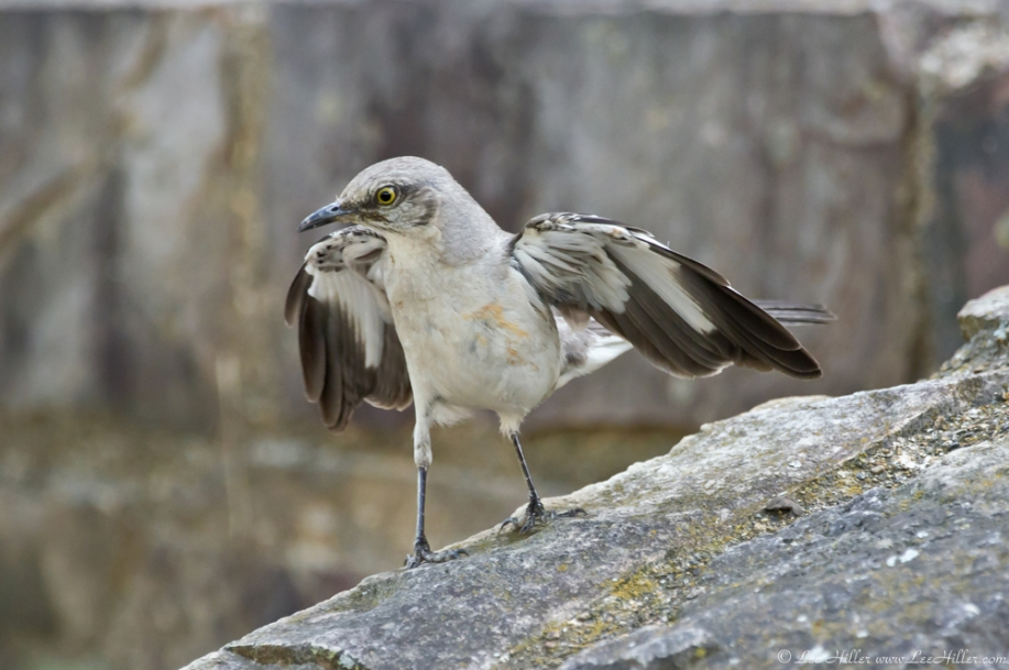 HSNP Promende Northern Mockingbird