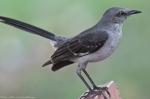 HSNP Promende Northern Mockingbird Hero