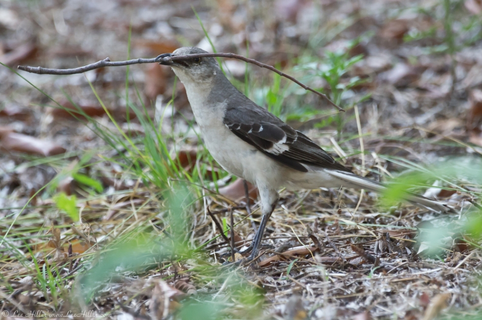 HSNP Promende Northern Mockingbird Hero