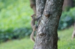 HSNP Promende Young Squirrel