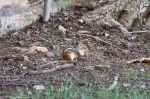 HSNP Arlington lawn Chipmunk