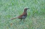 HSNP Promenade Brown Thrasher