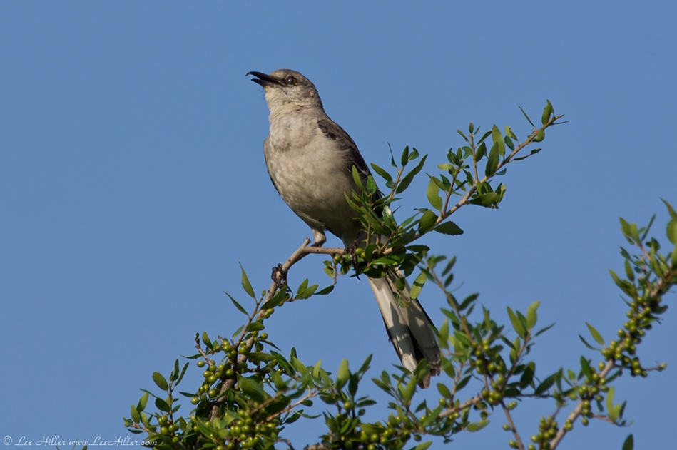 HSNP Promenade Hook Beak The Mockingbird