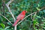 HSNP Promenade Male Cardinal