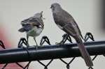HSNP Promenade Mom and Chick Mockingbird