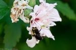 HSNP Arlington Lawn Pink Peony Bumble Bee