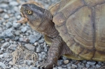 HSNP Carriage Road Female Box Turtle