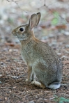 HSNP Peak Trail Eastern Cotton Tail Rabbit
