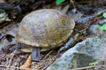 HSNP Peak Trail Male Box Turtle