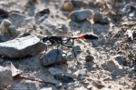 HSNP Short Cut Trail Wasp