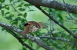 HSNP Tufa Terrace Brown Thrasher