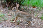 HSNP Tufa Terrace Trail Eastern Cottontail