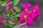 HSNP Tufa Terrace Trail Pink Crepe Myrtle