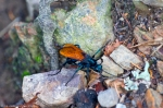 HSNP Carriage Road Spider Wasp