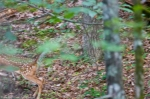 HSNP Hot Springs Mountain Trail Running Fawn