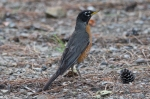 HSNP Hot Springs Mountain Trail American Robin