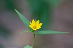 HSNP Hot Springs Mountain Trail Woodland Sunflower