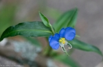 HSNP Peak Trail Asiatic Dayflower