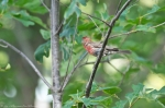 HSNP Promende House Finch