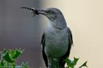 HSNP Northern Mockingbird with its Breakfast