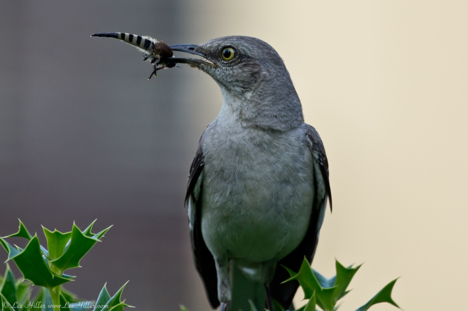 HSNP Northern Mockingbird with its Breakfast