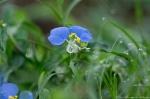 HSNP Tufa Terrace Asiatic Dayflower