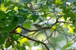 HSNP West Mt Oak Trail Red-Eyed Vireo