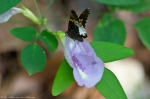 HSNP West Mt Canyon Trail Butterfly Pea  Hoary Edge Skipper
