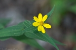 HSNP West Mt Canyon Trail Woodland Sunflower