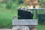 HSNP Promenade Mockingbird Juvenile
