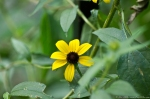 HSNP Tufa Terrace Trail Black Eyed-Susan