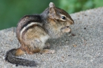 Hot Springs National Park Tufa Terrace Trail Chipmunk