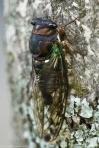 HSNP Arlington Lawn Cicada