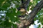HSNP Honeysuckle Trail Female Scarlet Tanager