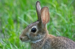 HSNP Peak Trail Male Eastern Cottontail