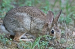 HSNP Tufa Terrace Trail Male Eastern Cottontail