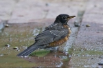 HSNP Promenade American Robin